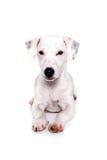Cucciolo di Jack russell che si trova e che guarda Immagine Stock Libera da Diritti