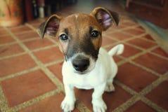 Cucciolo di Jack Russell Terria Fotografie Stock