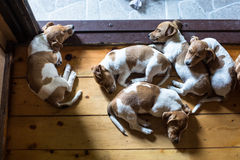 Cucciolo di Jack Russell Terrier Fotografie Stock Libere da Diritti