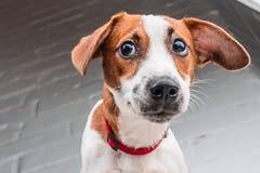 Cucciolo di Jack Russell Terrier in collare rosso che sta su una sedia su un fondo bianco Immagini Stock