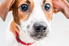 Cucciolo di Jack Russell Terrier in collare rosso che sta su una sedia su un fondo bianco Immagini Stock Libere da Diritti