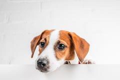 Cucciolo di Jack Russell Terrier in collare rosso che sta su una sedia su un fondo bianco Fotografie Stock Libere da Diritti