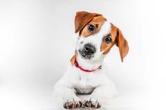 Cucciolo di Jack Russell Terrier in collare rosso che sta su una sedia su un fondo bianco Fotografie Stock