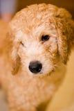 Cucciolo di Labradoodle fotografia stock