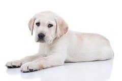 Cucciolo di Labrador   Immagini Stock