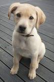 Cucciolo di Labrador Fotografie Stock
