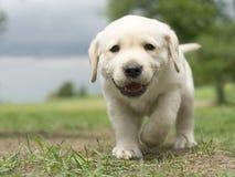 Cucciolo di Labrador Immagine Stock