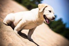 Cucciolo di Labrador Fotografia Stock