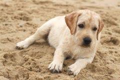 Cucciolo di Labrador al ritratto del mare nella sabbia Immagine Stock Libera da Diritti