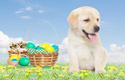 Cucciolo di Labrador ed insieme di Pasqua Immagini Stock