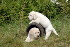 Cucciolo di labrador retriever Fotografia Stock