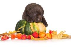 Cucciolo di labrador retriever con una zucca Fotografie Stock
