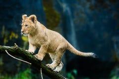 Cucciolo di leone Immagini Stock Libere da Diritti