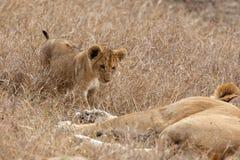 Cucciolo di leone che cammina verso la madre in pascoli su Masai Mara, Kenya Africa immagini stock libere da diritti