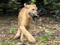 Cucciolo di leone che mangia un pipistrello Immagini Stock Libere da Diritti