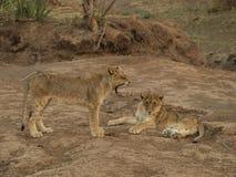 Cuccioli di leone Fotografie Stock