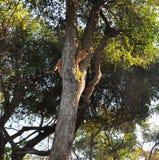 Cucciolo di leone che scala un albero fotografie stock