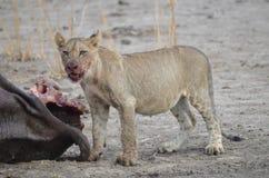 Cucciolo di leone con un'uccisione Fotografie Stock Libere da Diritti