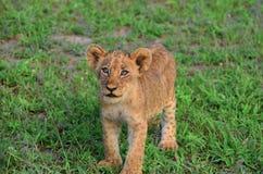 Cucciolo di leone curioso Fotografia Stock