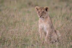 Cucciolo di leone in Maasai Mara fotografia stock libera da diritti