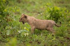 Cucciolo di leone nel selvaggio, safari dell'Africa Immagini Stock Libere da Diritti