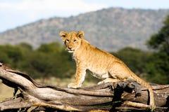 Cucciolo di leone sul ramo Immagine Stock