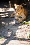 Cucciolo di leone sveglio Fotografia Stock Libera da Diritti