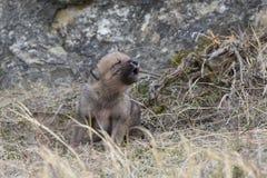 Cucciolo di lupo che urla per la madre Fotografia Stock