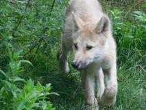 Cucciolo di lupo nello schiarimento fotografia stock libera da diritti