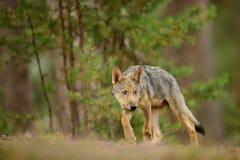 Cucciolo di lupo timido in foresta Immagine Stock