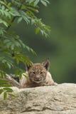 Cucciolo di Lynx dell'europeo Fotografia Stock Libera da Diritti