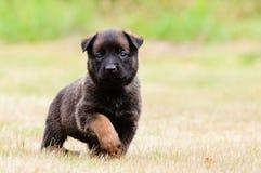 Cucciolo di Malinois Fotografie Stock Libere da Diritti