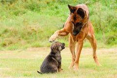 Cucciolo di Malinois Fotografia Stock