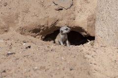 Cucciolo di Meerkat Fotografia Stock Libera da Diritti