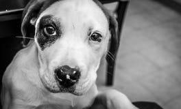 Cucciolo di 5 mesi, occhi del cucciolo Immagini Stock Libere da Diritti
