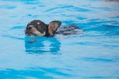 Cucciolo di nuoto Fotografia Stock