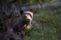 Cucciolo di orso alla luce luminosa del sole di estate Fotografie Stock Libere da Diritti