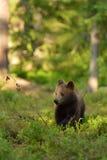Cucciolo di orso bruno Immagine Stock