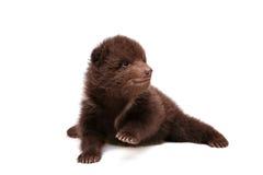 Cucciolo di orso bruno (arctos di ursus), su bianco immagine stock libera da diritti