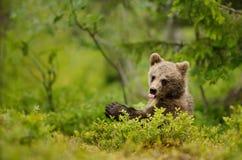 Cucciolo di orso bruno che attacca fuori le tenaglie Fotografia Stock