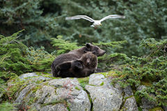 Cucciolo di orso bruno con quattro zampe nell'aria che si siede sopra un lar Fotografie Stock