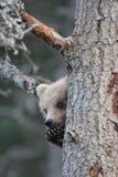Cucciolo di orso bruno d'Alasca sveglio fotografie stock libere da diritti