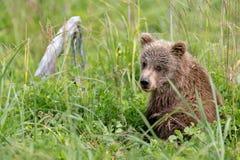 Cucciolo di orso bruno in erbe alte Fotografie Stock Libere da Diritti