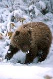 Cucciolo di orso grigio con neve sul suo naso (arctos di ursus), Alaska, D Immagine Stock Libera da Diritti