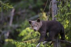 Cucciolo di orso nell'albero Fotografia Stock Libera da Diritti