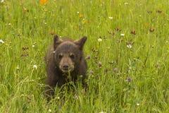 Cucciolo di orso nero e Wildflowers Fotografia Stock Libera da Diritti