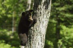 Cucciolo di orso nero in primavera Immagini Stock Libere da Diritti