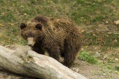 Cucciolo di orso triste Fotografia Stock