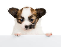 Cucciolo di Papillon su fondo bianco Immagine Stock