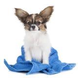 Cucciolo havanese del cioccolato bagnato dopo il bagno - Bagno cane dopo antipulci ...